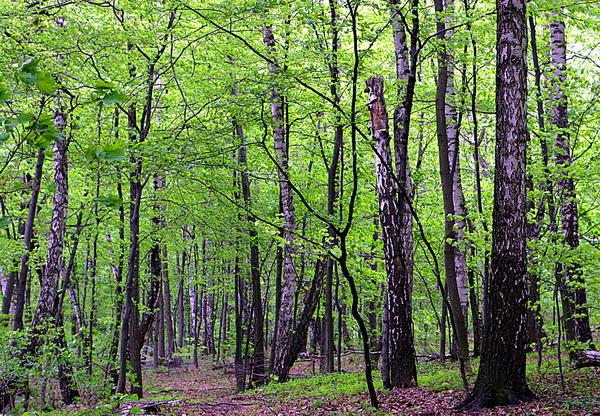 Лес заповедника расточье