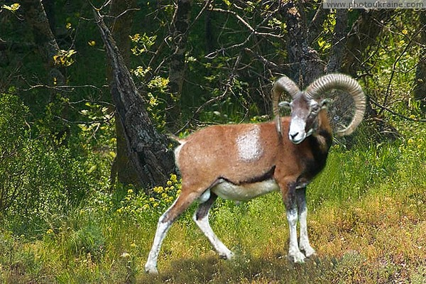 Crimean Reserve. European Mouflon Autonomous Republic of Crimea Ukraine photos