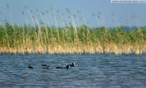 Shatsky park. Coot Volyn Region Ukraine photos