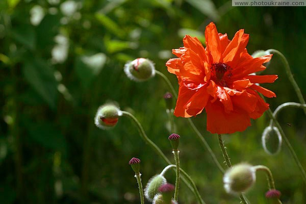 Kamiani Mohyly Reserve. Protected poppies Donetsk Region Ukraine photos