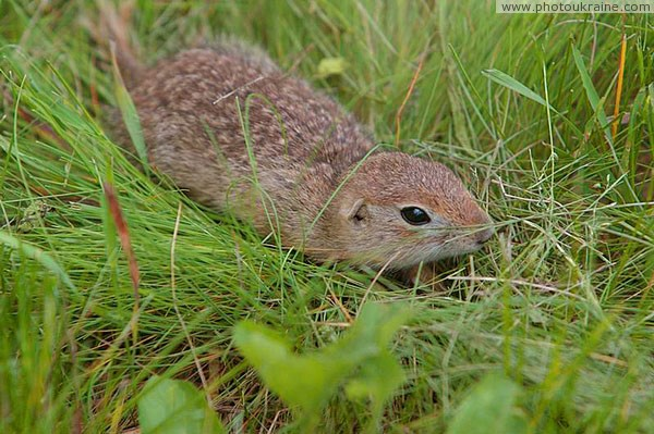 Kamiani Mohyly Reserve. Reserve rodent Donetsk Region Ukraine photos