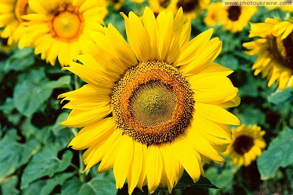 Komsomolske. Radiant sunflowers Donetsk Region Ukraine photos
