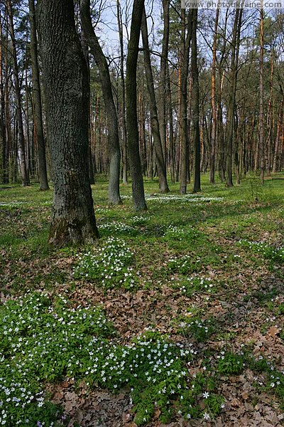 Poliskyi Reserve. Pine woodlands Zhytomyr Region Ukraine photos