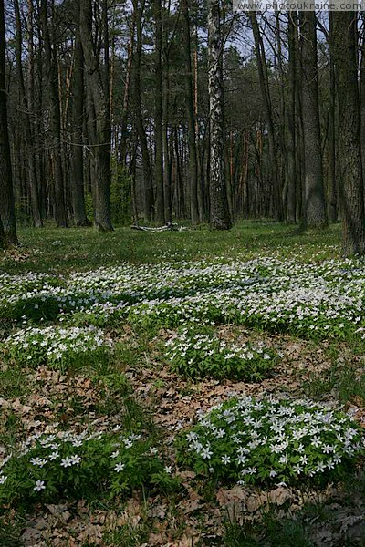Poliskyi Reserve. Forest Carpet Zhytomyr Region Ukraine photos