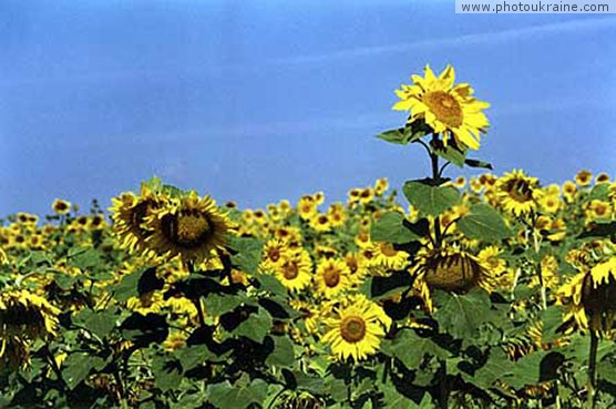 Town Pryluky (outskirts). Field of sunflowers Chernihiv Region Ukraine photos