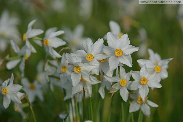 Valley of narcissus. Narcissus narrow-leaf Zakarpattia Region Ukraine photos