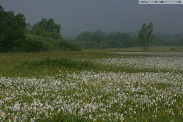 Valley of narcissus. Narcissus tide Zakarpattia Region Ukraine photos