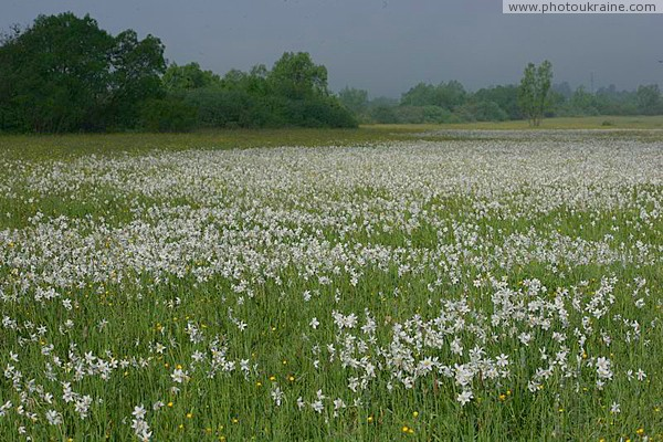 Valley of narcissus. Border of narcissus sea Zakarpattia Region Ukraine photos