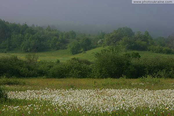 Valley of narcissus. Outskirts of reserve branch Zakarpattia Region Ukraine photos