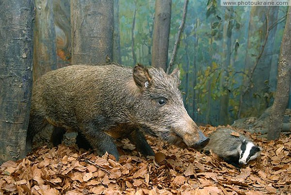 Museum of Carpathian Reserve. Boar family Zakarpattia Region Ukraine photos