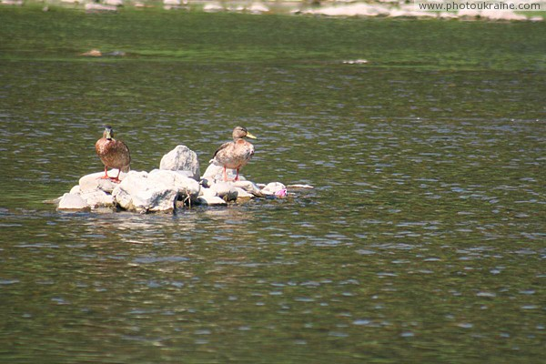 Uzhgorod. Ducks on rocky shoal in middle of river Zakarpattia Region Ukraine photos