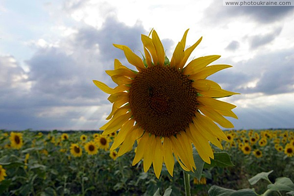Flowers of sun in vast Ukrainian steppe Zaporizhzhia Region Ukraine photos