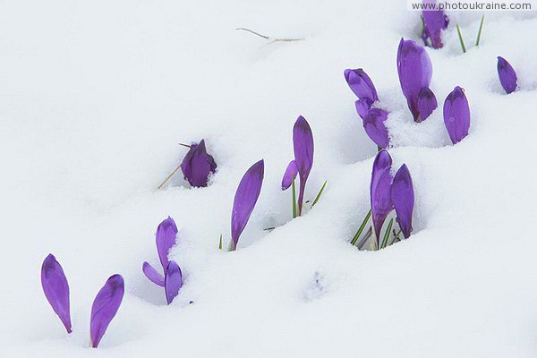 Carpathian NNP. Crocuses - saving vitality Ivano-Frankivsk Region Ukraine photos