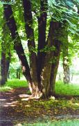 Chernyatyn. Old tree of Chernyatyn park, Vinnytsia Region, Country Estates