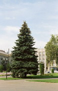 Artemivsk. Fluffy fir in central square, Donetsk Region, Towns