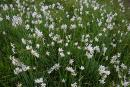 Valley of narcissus. Wave of narcissus, Zakarpattia Region, Natural Reserves