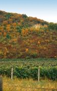 Muzhievo. Vineyard Beregove hills, Zakarpattia Region, Geological sightseeing