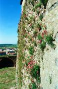 Mukacheve. Wildflowers on south wall of castle, Zakarpattia Region, Fortesses & Castles