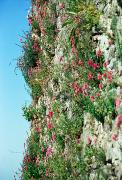 Mukacheve. Flowers accustomed to castle wall, Zakarpattia Region, Fortesses & Castles