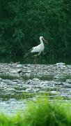 Nevytske. Stork in rocky riverbed Uzh, Zakarpattia Region, Rivers