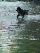 Nevytske. Dog swimming in river Uzh, Zakarpattia Region, Rivers