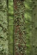 Carpathian NNP. Mossy tree trunks, Ivano-Frankivsk Region, National Natural Parks