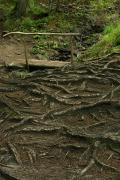 Carpathian NNP. Root pavement forest stream, Ivano-Frankivsk Region, National Natural Parks