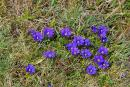 Carpathian NNP. Blue primrose, Ivano-Frankivsk Region, National Natural Parks