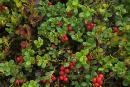 Pre-Carpathians. Evergreen cowberry thickets, Ivano-Frankivsk Region, National Natural Parks